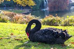 Elegancia en Otoo (Merly_gon) Tags: atardeceres sol luces colores animales patos otoo agua verde luz dia cisnes plantas sony a7