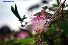 DSC_0422 (willhudson1982) Tags: flower acacia constatinopla albizia julibrissin