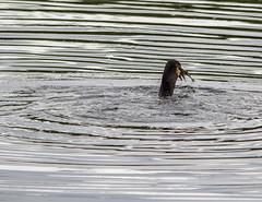 IMG_0423 (1a) (Alinbidford) Tags: alancurtis alinbidford brandonmarsh cormorant