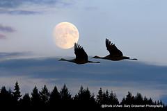 Supermoon (Gary Grossman) Tags: fullmoon moon sandhillcranes garygrossmanphotography shotsofawe awesome birds birdsinflight moonrise autumn pacificnorthwest moonscape wildlife