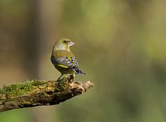 Verdier (JFB31) Tags: verdierdeurope carduelischloris europeangreenfinch passriformes fringillids