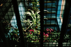 Fuji Superia 1600 - 3. Nachtgarten (ḆΞ₪¡) Tags: fujisuperia1600 fuji 1600 2016 film analogue canon 30d london chinatown plants neon light soho