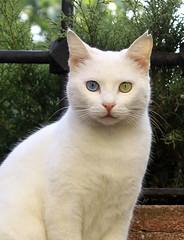 Van cat (SaRDeS70) Tags: vankedisi vancat cat kedi