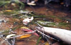 He's Shy [Nikon F5 Film] (Aviator195) Tags: kodak kodakfilm kodakektar100 kodakektar ektar ektar100 ektarfilm 35mm 35mmfilm filmphotography film filmisnotdead filmphotos filmscan filmphoto celluloid grain analog analogue nikon nikonfilm nikonf5 f5 australia sydney northernbeaches epson epsonv550 epsonperfectionv550 epsonperfection pixelmator mccarrscreek creek water lizard animal coldblooded reptile life fauna flora floraandfauna river
