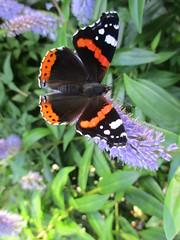 """ Red Admiral Butterfly "" (seanwalsh4) Tags: redadmiral flutter nice happy sean walsh bristol urban nature wild"