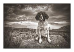 """Mollie Munch"" (Missy Jussy) Tags: dog dogportrait portrait englishspringer springerspaniel spaniel animal sepia monochrome canon cannon600d wales nationalpark gwynedd dogwalk landscape sky clouds canon1855mm"