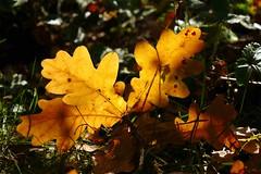 deutsche Eiche (lomix-logo) Tags: eiche oak baum laubbaum herbst laub blatt