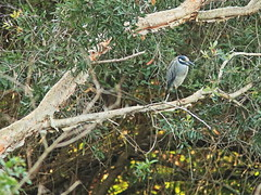 Yellow-crowned Night-Heron 20161205 (Kenneth Cole Schneider) Tags: florida miramar westbrowardwca