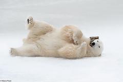 churchill-2016_DSC3820-new2 (Marco Pozzi photographer (800k+ views, thanks)) Tags: polarbear bear churchill manitoba canada orso orsopolare marcopozziphotographer marcopozzi pozzi specanimal specanimalphotooftheday