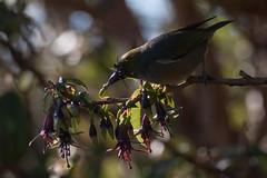 Silvereye (Zosterops lateralis) and Tree Fuchsia (Fuchsia excorticata) (Nga Manu Images NZ) Tags: fscientificnames feeding fuchsiaexcorticata plantsandfungi pollination treefuchsiakotukutuku trees zosteropslateralis