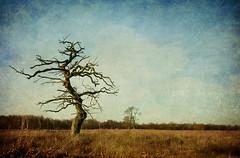 Lone tree (aenee) Tags: aenee lonetree negativespacetexturespareeerica clive sax dsc3287edit 20161125 magicunicornverybest