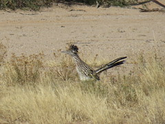 Greater Roadrunner - Arizona by SpeedyJR (SpeedyJR) Tags: 2016janicerodriguez tucsonmountainpark greaterroadrunner roadrunners birds wildlife nature tucsonarizona arizona speedyjr
