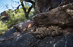 Arizona Black Rattlesnake (Evan Arambul) Tags: rattlesnake sierranchas arizona mountains hike nature venomous herping herpetology cerberus blackrattlesnake crotalus crote az explore snake venom herp fieldherping cerb canon teamcanon zoom wide 28 1635mm rattlesnakes