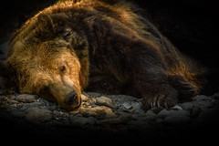 Fallen on duty... (Francizc Chachula) Tags: bear nikon d7200 70300mm nikkor outdoor brown bokeh portret lowkey nature natural september 2016 light ilumination sleep sleeping tirgumures romania zoo