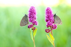 Temple of desire... (Zbyszek Walkiewicz) Tags: butterflies butterfly sony closeup insects ngc coth5
