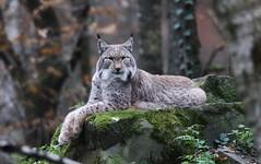 Lynx (Hugo von Schreck) Tags: hugovonschreck lynx luchs outdoor tier animal germany europe canoneos5dsr tamronsp150600mmf563divcusda011 cat katze fantasticnature