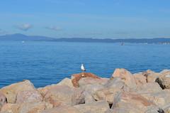 Gabbiano a Puntala (manuelfanciullacci) Tags: puntala gabbiano mare maremma nikond5100 toscana gr cielo 2016 europa turismo provinciadigrosseto