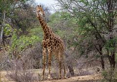 Good overview (werner boehm *) Tags: wernerboehm giraffe krgernp southafrica sdafrika busch safari