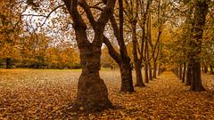 Maple Alley (TanzPanorama) Tags: nature park leaves yellow golden autumn fall tanzpanorama fe2470mmf4zaoss sel2470z zeiss variotessartfe2470mmf4zaoss sonya7ii sony scenery alley crystalpalacepark london tree foliage landscape crystalpalace