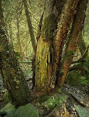 Island Forest (scilit) Tags: trees sunlight nature leaves forest landscape moss rocks branches bark tistheseason absolutelystunningscapes greenbeautyforlife