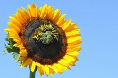 Frankenflower (Doris Burfind) Tags: flower nature countryside outdoor farm freak sunflower