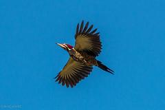 pica-pau-de-banda-branca (Dryocopus lineatus) (Ana Carla AZ) Tags: birds rj aves lugares lidice piciformes picidae picapaus picapaudebandabranca dryocopusgaleatus