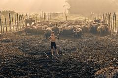 SAM_8425a (yaman ibrahim) Tags: morning boy sun sunrise buffalo ray samsung malay apsc nx1 samsungnx1