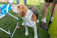 IMG_8479.jpg (peterrinzner) Tags: salzburg beagle sterreich css abc anif at bravebradleyvombrigittenauerforst 37css
