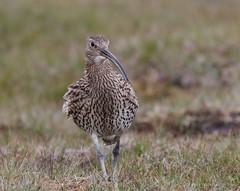 Curlew / Wulp (Kees Waterlander) Tags: birds scotland unitedkingdom vogels gb shetland schotland curlew foula wulp numeniusarquata