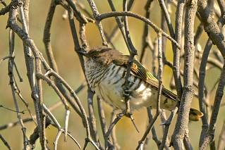 Horsfield's Cuckoo