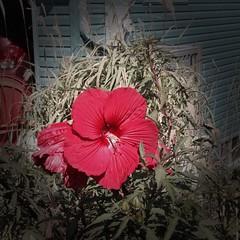 #flower #flowers #hybiscushibiscus (AirportGirl3) Tags: flowers flower hibiscus hybiscus