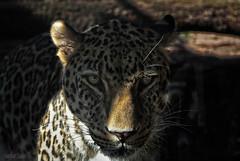 Leopardo-Zoo Madrid (Csanz14) Tags: madrid españa zoo leopardo spain eyes sony leopard mirada alpha200