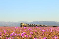 Explosion de colores en Atacama (Guillermo Andre) Tags: chile flores trenes desierto florido 2015 vallenar ferronor