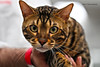 IMG_7722a_c (JANY FEDERICO GIOVANNINETTI) Tags: hairy cats cat hair eyes funny soft sweet expressions occhi international felini gatto gatti divertenti pelosi pelo dolci pedigree internazionale sguardi espressioni razza soffice soffici
