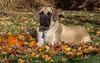 Millie's first Pumpkin (John Clay173) Tags: new england english fall englishmastiff mastiff newengland millie jclay