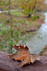 Withered leaf on a bridge (joanna papanikolaou) Tags: park autumn trees brown fall colors closeup forest river outdoors woods october colorful stream nobody scene foliage fallen environment withered autumnal planetree