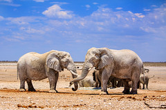 Elephants on the Etosha Plains (paulafrenchp) Tags: