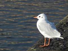 Anglų lietuvių žodynas. Žodis common gull reiškia paprastasis kiras,kiras lietuviškai.