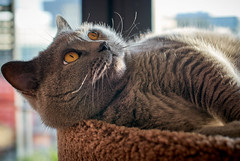 Conner - enjoys the winter sunlight (michaelbeyer_hh) Tags: cat bkh britishshorthair penf