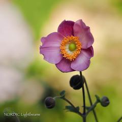 P8210018 (NORDIC Lightbeams) Tags: macro purple blossom bokeh makro blüte violett mft olympuszuiko microfourthirds ed40150mmf28