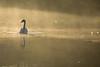 Misty morning (WaterBugsPics) Tags: mist morning smoke yellow water intothesun swan sunlight sunbeam cy2