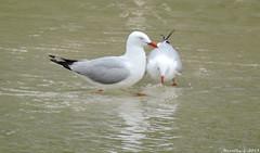 Silvergulls and reflections (Merrillie) Tags: nature water birds animal fauna photography nikon scenery wildlife seagull gulls australia nsw coolpix nelsonbay portstephens silvergull p600