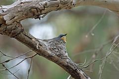 Leaden FLycatcher (aaardvaark) Tags: bird nest australia breeding canberra act nesting myiagrarubecula leadenflycatcher arandawoodland 201511261d1166leadenflycatcher48x32