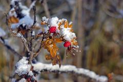 Sweet briars in snow (arthur_streltsov) Tags: sonyflickraward