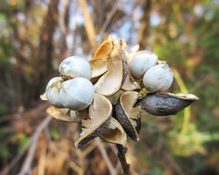White berries breaking out of seedpods - Chinese Tallow Tree - Triadica sebifera (Monceau) Tags: white berries breakthrough tallow chinesetallowtree seedcases triadicasebifera