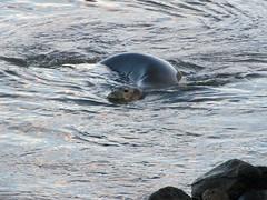 Monk seal (Dianna White) Tags: hawaii bigisland monkseal keokeabeachpark