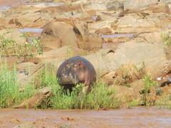 Ippopotamo (Castorina81) Tags: africa park kenya east national tsavo savana ippopotamo hyppo