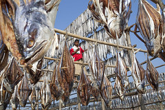 Dried fish village in Bangladesh (auniket prantor) Tags: light sea fish man asian living fishing fisherman asia day phone image indian over business fisher huge editorial worker bazaar foreign economic talking visual issue bangladesh coxs journalist fishingvillage drying export regular southasia driedfish earnings subcontinent 2016 zakir hossain chowdhury fishinginthesea driedfis