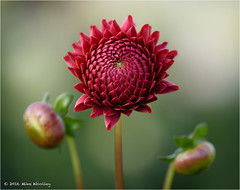 The Day Of The Triffids (Mike Woolley) Tags: dahlia autumn flower nikon