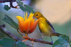 Prothonotary Warbler (Rare) (Thy Photography) Tags: prothonotarywarbler wildlife warbler rarebird rare fullframe flowers animal bird nature outdoor photography sanfrancisco goldengatepark depthoffield avian rarity california
